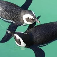 Átadták a Szegedi Vadaspark új pingvinbemutatóját