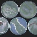 Gombaölő gombák Szögedön