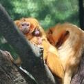Arany oroszlánmajmocskák születtek a Szegedi Vadasparkban