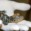 Zoológiai szenzáció: tompaorrú krokodilok keltek a Vadasparkban!
