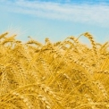 A tavalyinál jobb gabonatermés várható Csongrád megyében