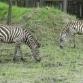 Új zebracsapat érkezett a Szegedi Vadasparkba